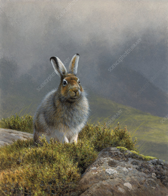 Mountain hare in upland landscape, illustration