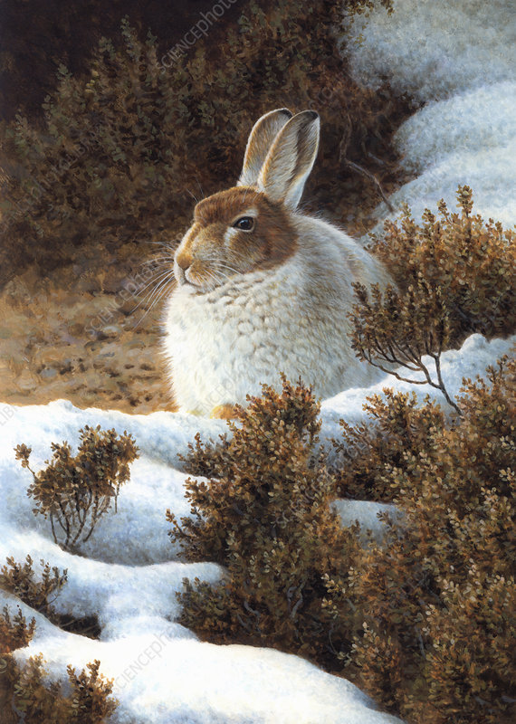 Mountain hare in snow in winter, illustration