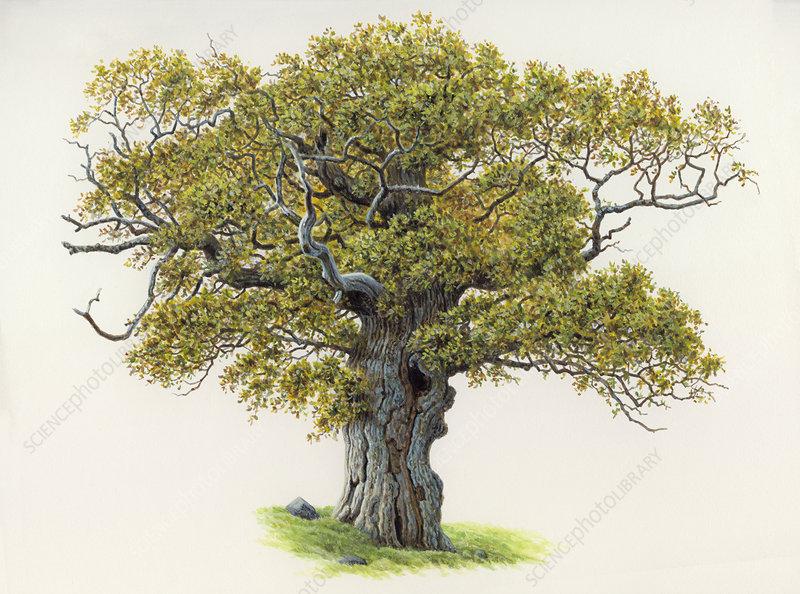 Old, gnarled oak tree, illustration