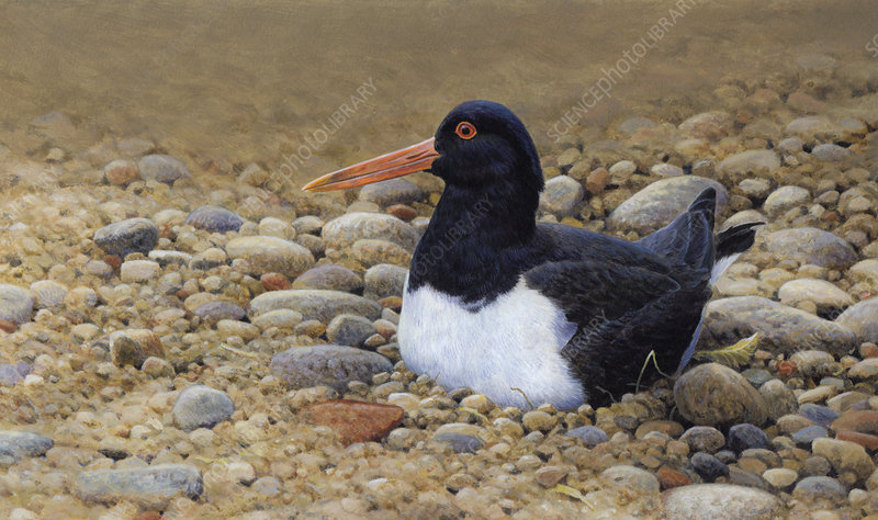 Oystercatcher sitting on pebbly beach, illustration