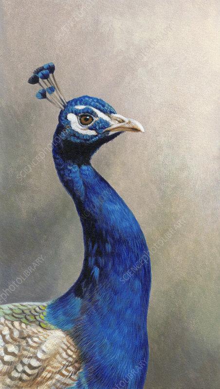 peacock, illustration