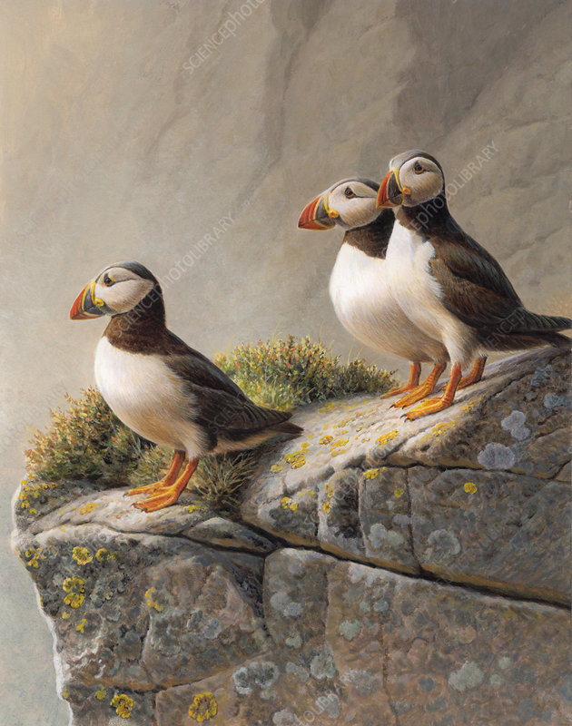 Three puffins standing on rocky cliff, illustration