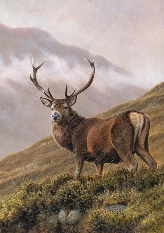 Red deer stag in upland landscape, illustration
