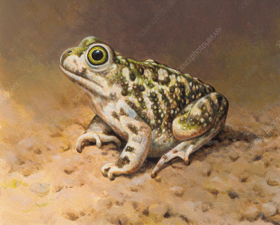 Couch's Spadefoot toad, illustration