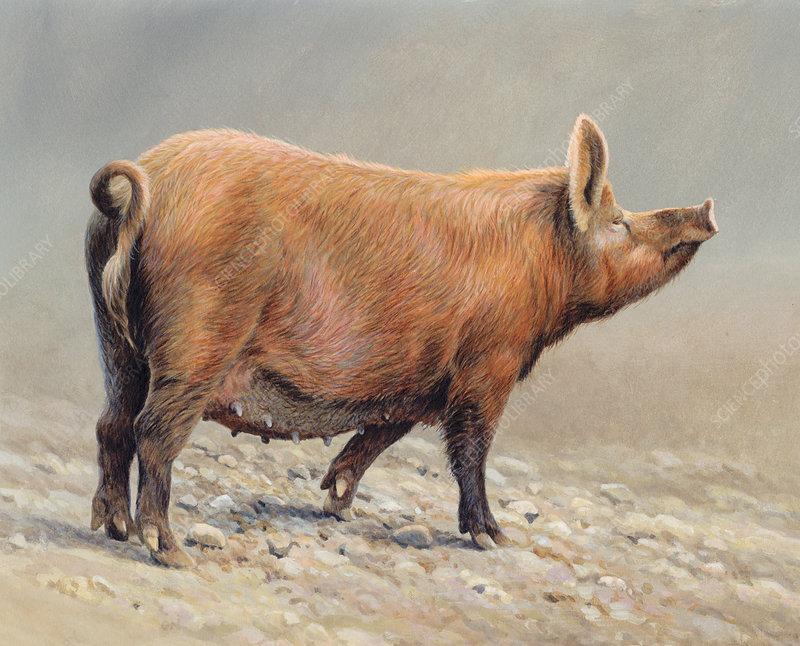 Tamworth pig, illustration