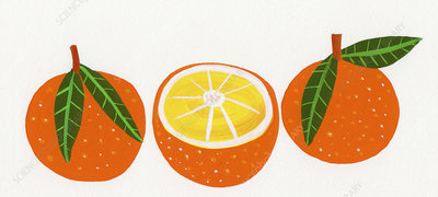 Three oranges in a row, illustration