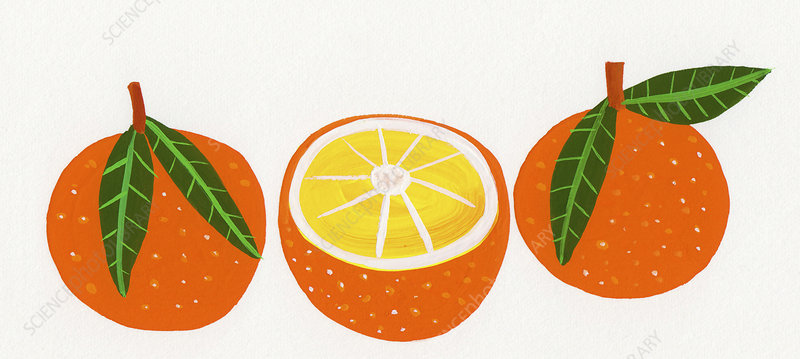Three oranges in a row, illustration
