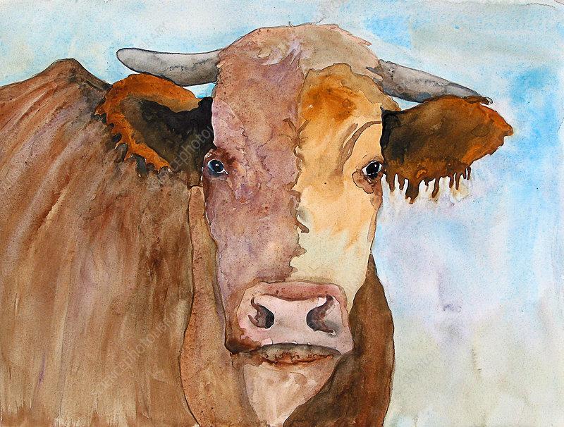 Cow, illustration
