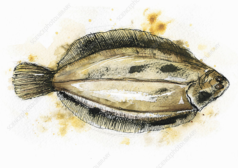 Flat fish, illustration