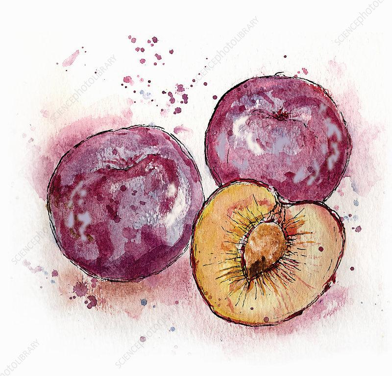 Three plums, illustration