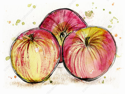 Three Jonagold apples, illustration