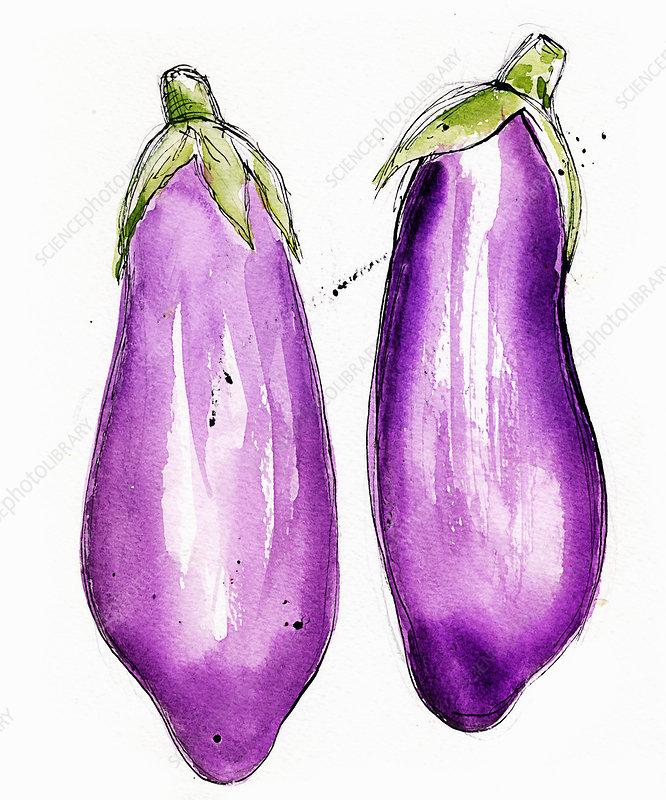 Two aubergines, illustration