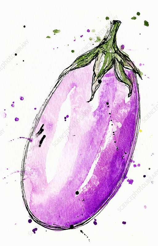 Aubergine, illustration