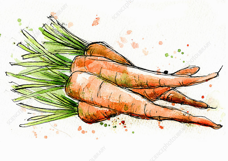 Bunch of carrots, illustration