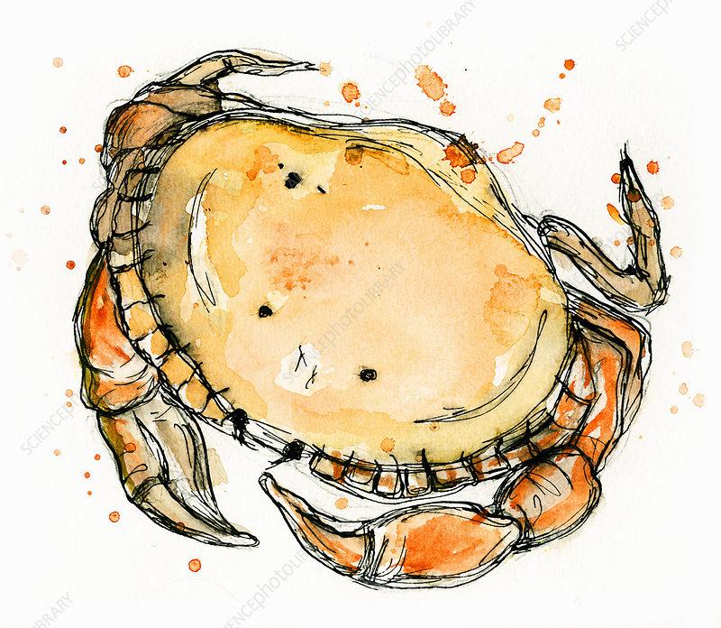 Crab, illustration