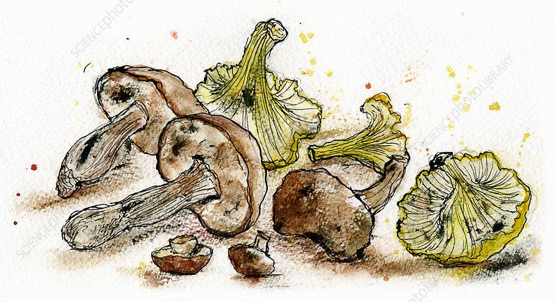 Variety of wild mushrooms, illustration