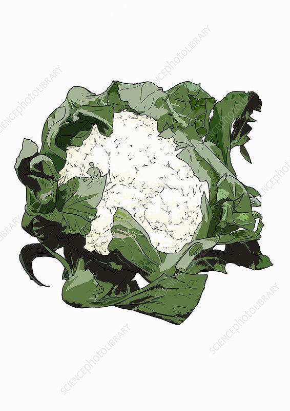 Cauliflower, illustration