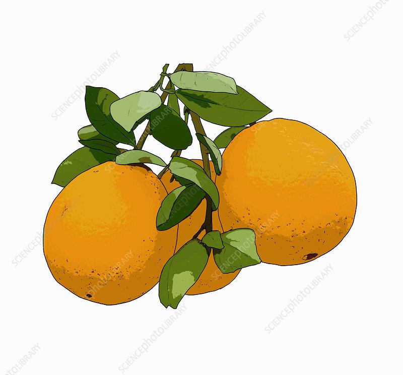 Oranges, illustration