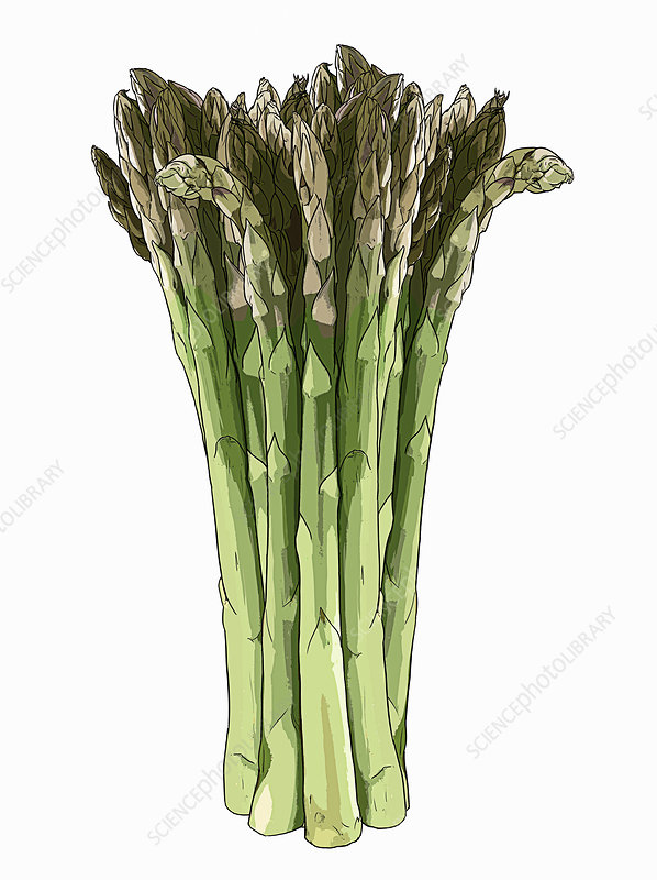 Bunch of asparagus spears, illustration
