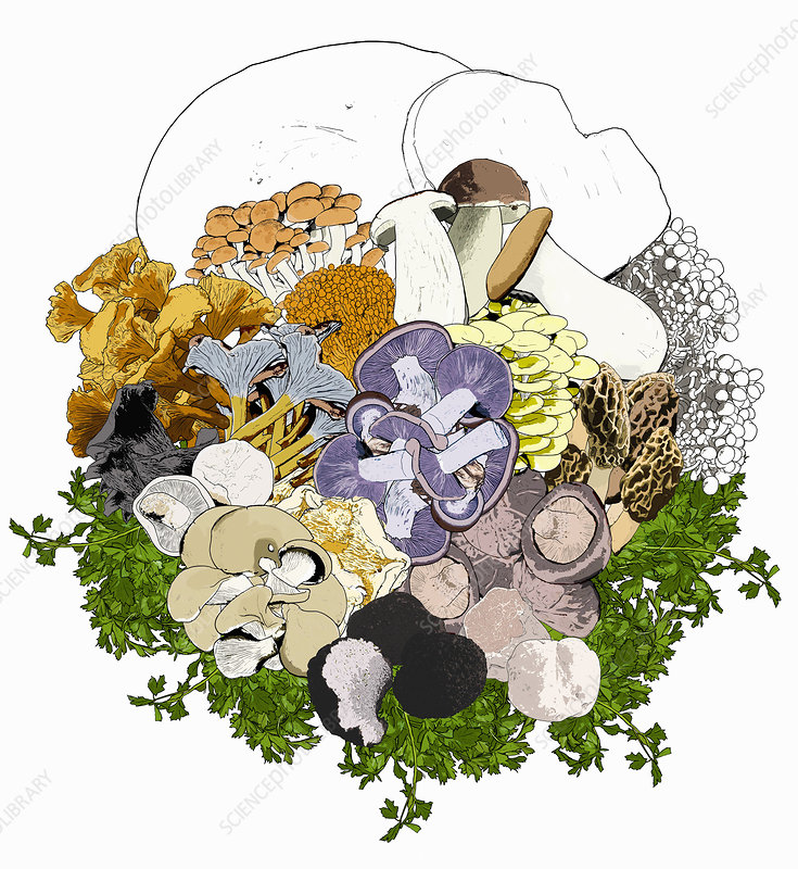 Wild mushrooms, illustration