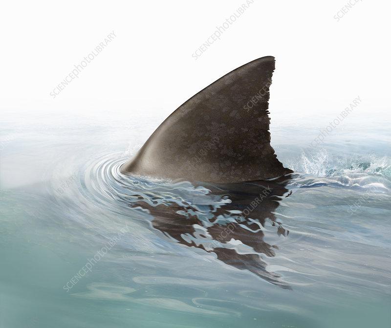 Shark fin swimming in ocean, illustration