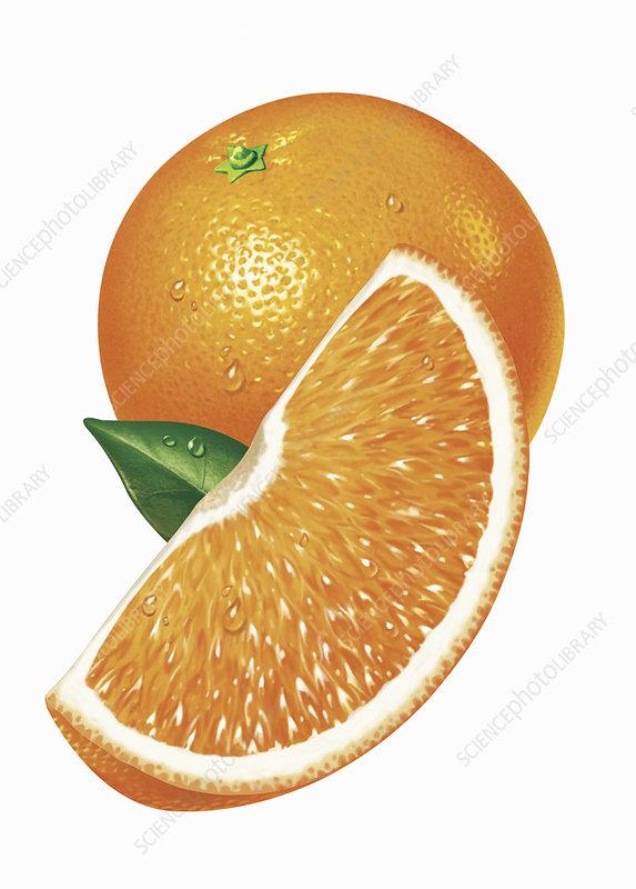 Fresh sliced orange, illustration