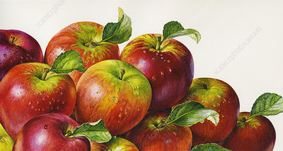 Pile of apples, illustration