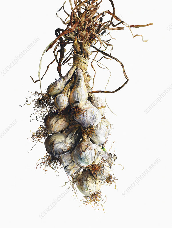 White onions hanging in string, illustration
