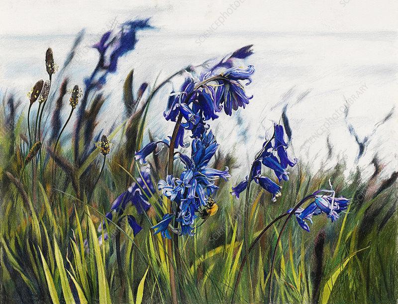 Bluebells and plantain, illustration