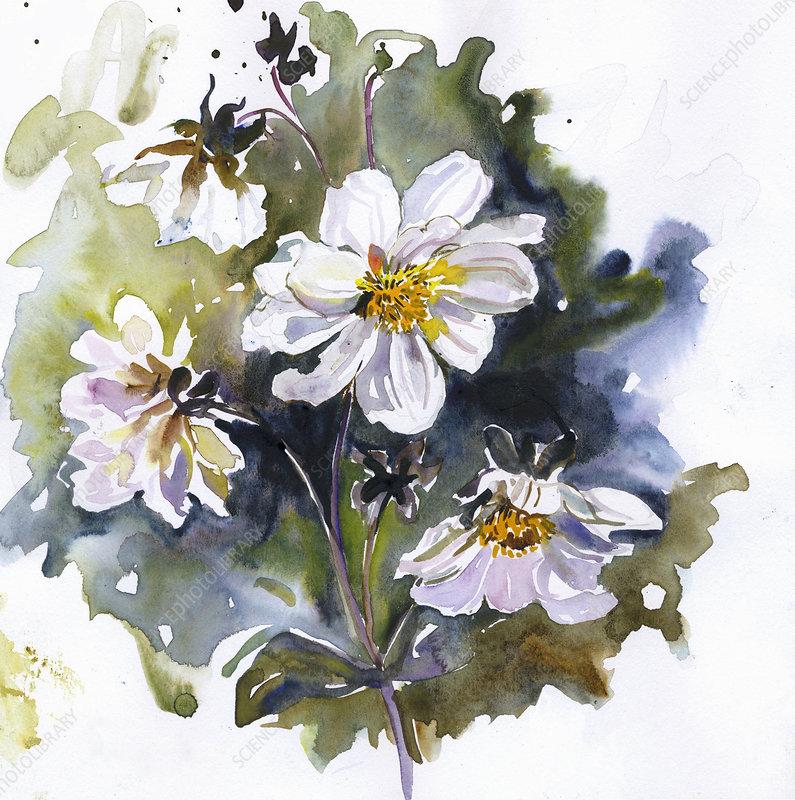 White dahlia flowers on stem, illustration