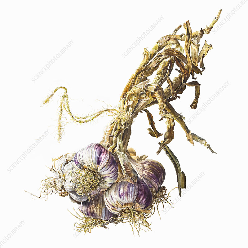 Bunch of garlic bulbs tied with string, illustration