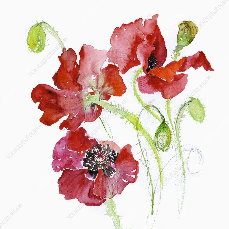 Common Poppy (Papaver Rhoeas), illustration