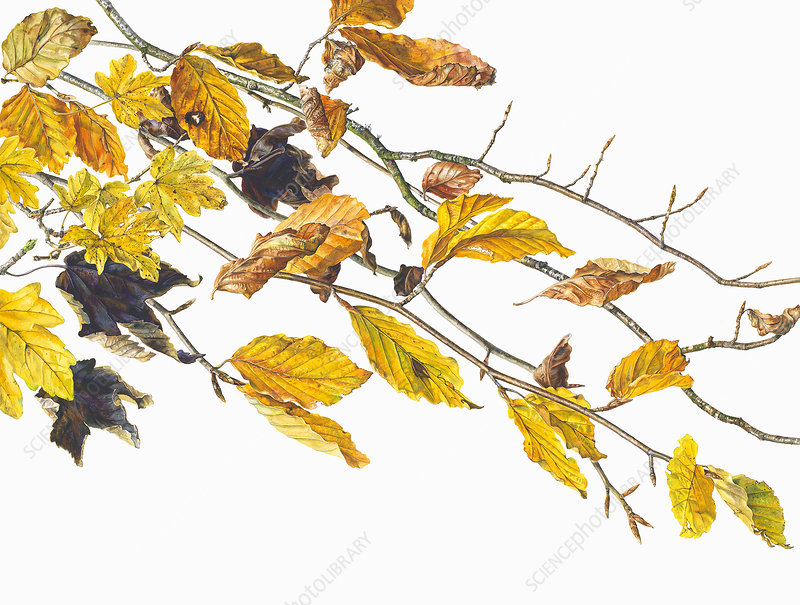 Autumn leaves on twigs, illustration