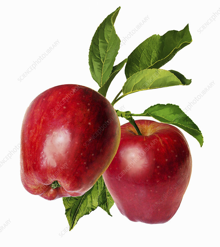 Two red apples with leaves on stem, illustration