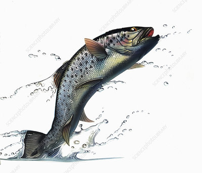 Salmon leaping out of water, illustration