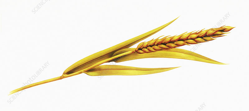 Single ear of wheat, illustration