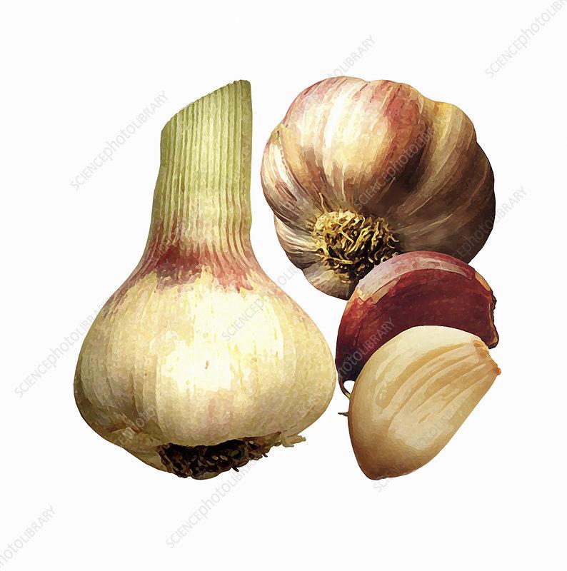 Garlic cloves and bulbs, illustration