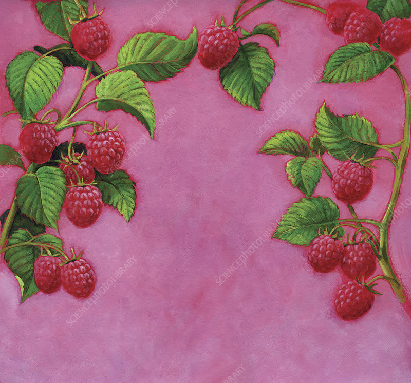 Ripe raspberries growing on branch, illustration