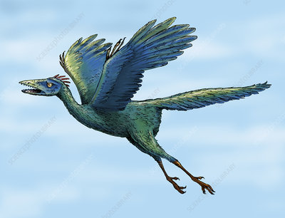Archaeopteryx flying, illustration
