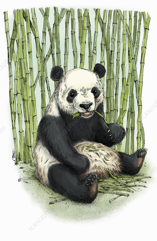 Giant panda sitting eating bamboo, illustration
