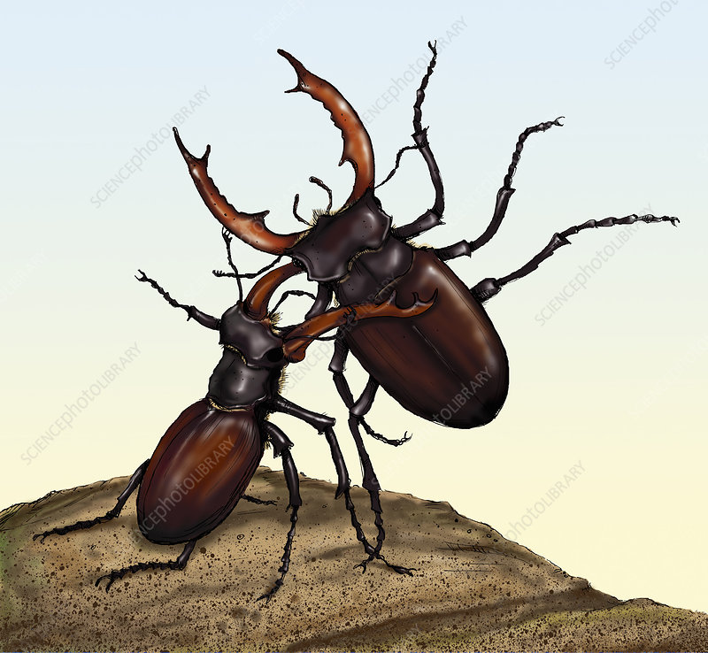 Two fighting stag beetles, illustration