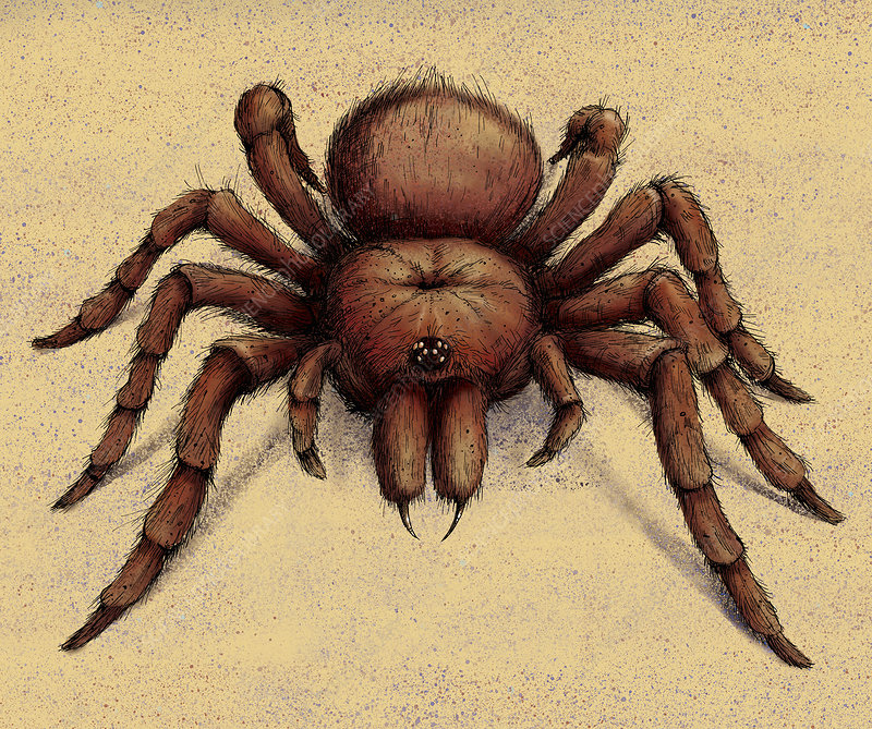 Goliath Birdeater Tarantula spider, illustration