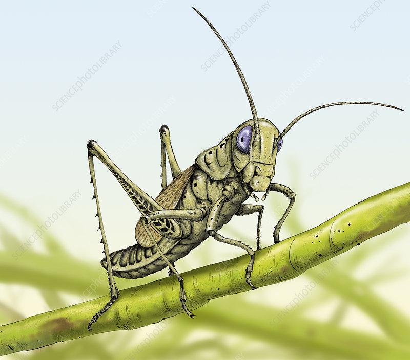 Grasshopper on stem, illustration