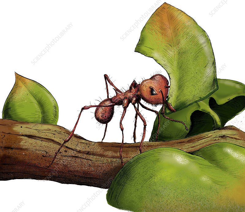 Leafcutter ant on twig with leaf, illustration