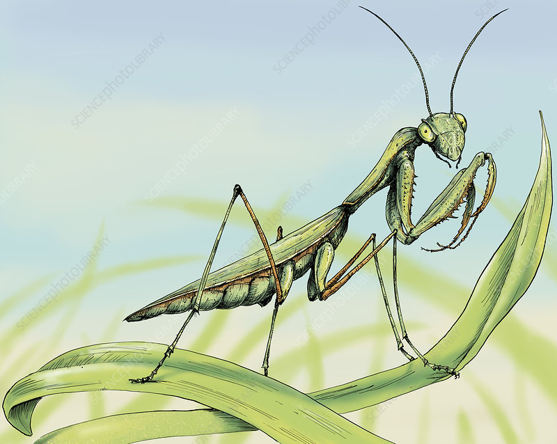 Praying mantis on blade of grass, illustration