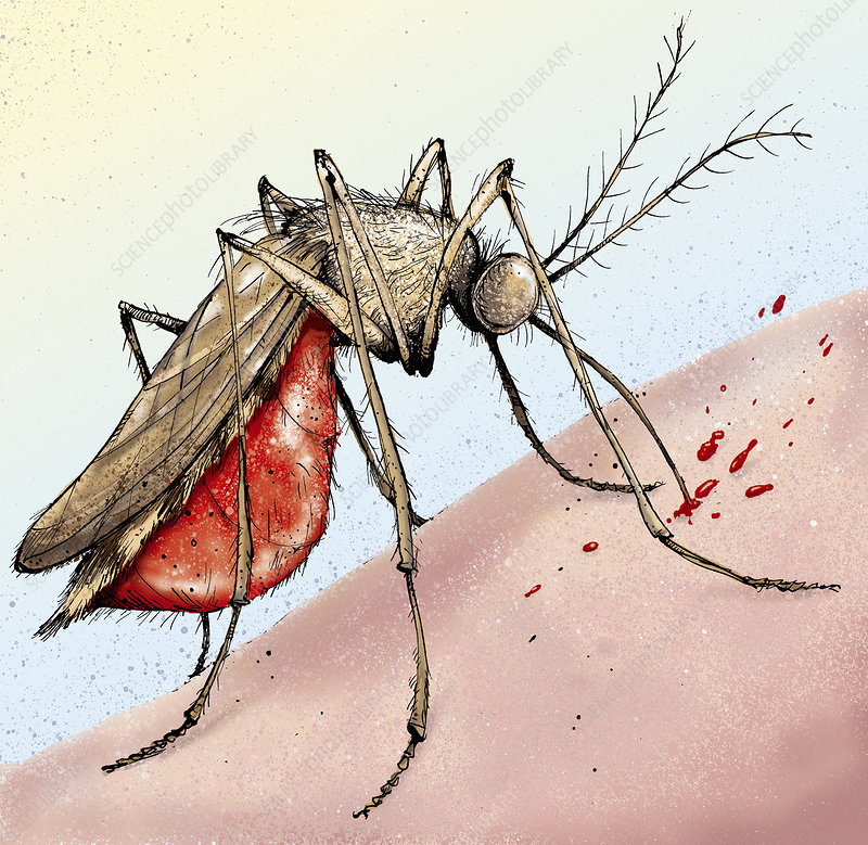 Mosquito feeding on human skin, illustration