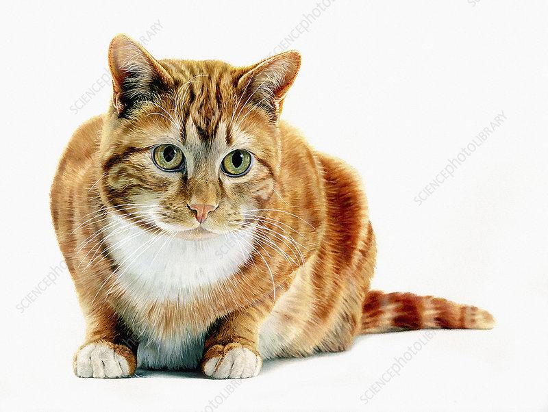 Ginger cat, illustration
