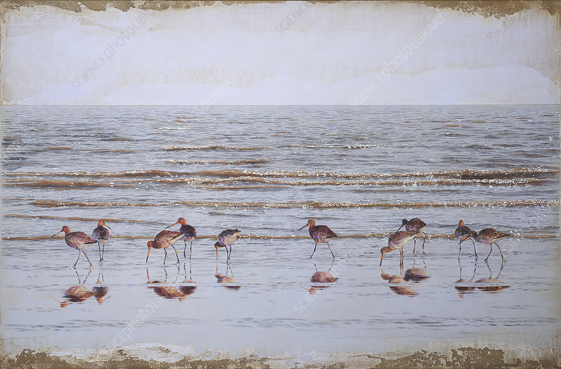 Godwits wading in sea at water's edge, illustration