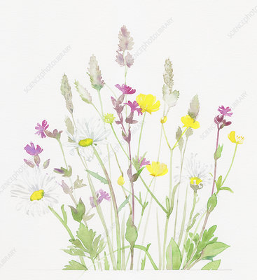 Buttercups, red campion and grasses, illustration