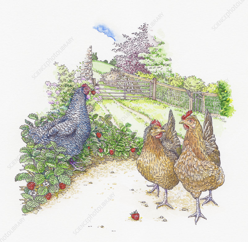 Chickens walking and eating strawberries, illustration
